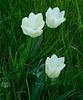 Tulipes*************
