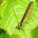 20170611 1814CPw [D~LIP] Gebänderte Prachtlibelle (Calopteryx splendens) [w], UWZ, Bad Salzuflen