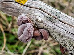 Auricularia Auricula - Judae