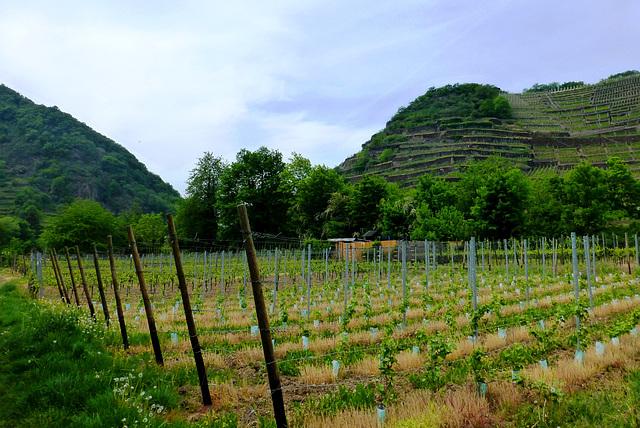 Weingärten bei Walporzheim