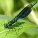 20170611 1816CPw [D~LIP] Gebänderte Prachtlibelle (Calopteryx splendens) [m], UWZ, Bad Salzuflen