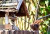 Neugieriges Eichhörnchen am Vogelfutterhaus