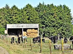 Group of Steers