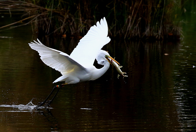 France.Misery.Grande aigrette