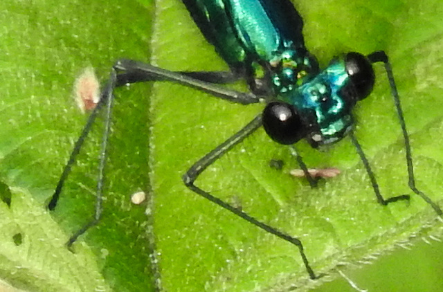 20170611 1821CPw [D~LIP] Gebänderte Prachtlibelle (Calopteryx splendens) [m], UWZ, Bad Salzuflen