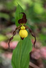 Cypripedium parviflorum variety parviflorum (Small Yellow Lady's-slipper orchid)