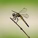 5258482 DxOdcL · Dragonfly
