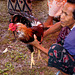 Cockfight, Jimbaran, Bali - 5416104246 d397a6b482 o