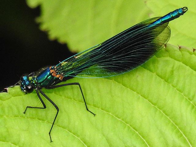20170611 1822CPw [D~LIP] Gebänderte Prachtlibelle (Calopteryx splendens) [m], UWZ, Bad Salzuflen