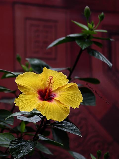 Hibiskusblüte in Farbe (Wilhelma)