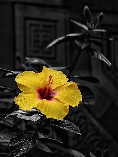 Hibiskusblüte (Wilhelma)
