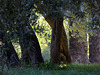 alberi centenari