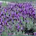 Wild lavender having a rave!
