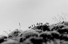 Mousses de mars  (1)