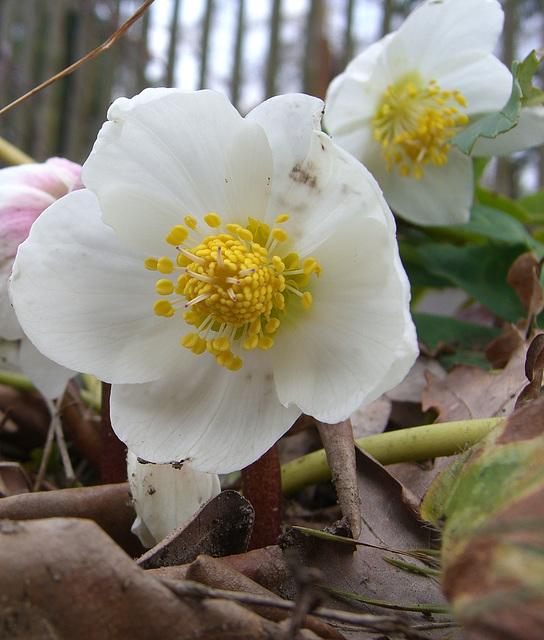 018  Nieswurz – Weiße Christrose