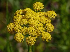 Nine-leaved Desert Parsley / Lomatium triternatum?