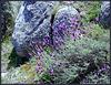 Lavender against granite
