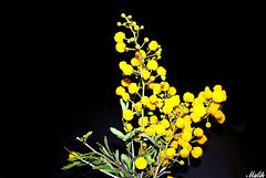 Mimosas du Dimanche.
