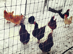 Chickens in the snow
