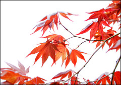 High Key Red Maple