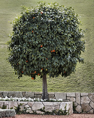 A Well Manicured Orange Tree – Baha'i Gardens, Haifa, Israel