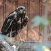 20181021 4303CPw [D~HF] Rohrweihe (Circus aerugiinosus), Tierpark Herford