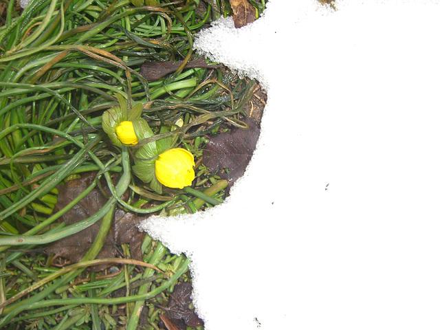 021 Geduckt im letzten Schnee -  Winterling