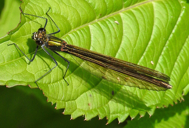 20170611 1831CPw [D~LIP] Gebänderte Prachtlibelle (Calopteryx splendens) [w], UWZ, Bad Salzuflen