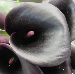 ARUM NOIR / BLACK ARUM