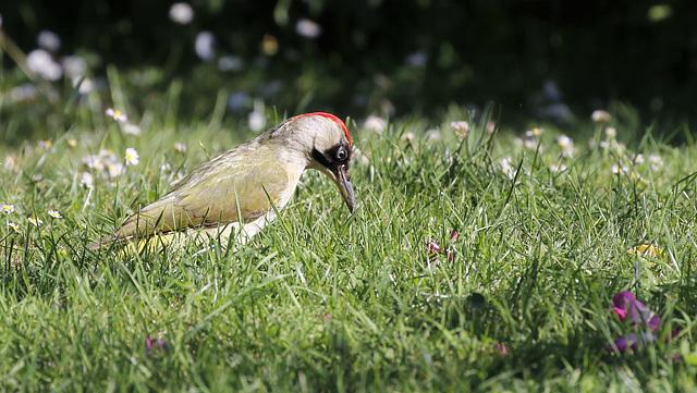 Pic vert - Picus viridis - European Green Woodpecker