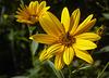 topinambur - fiori autunnali