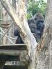 Western Lowland Gorilla (1) - 18 May 2017