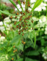 Spider 'ball' dispersing when threatened