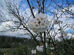 Fleurs blanches de cerisier
