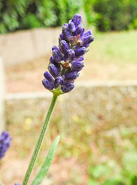 20200614 8547CPw [D~LIP] Lavendel, Bad Salzuflen