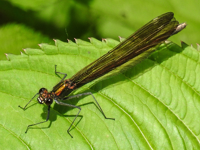 20170611 1841CPw [D~LIP] Gebänderte Prachtlibelle (Calopteryx splendens) [w], UWZ, Bad Salzuflen