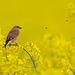Linotte mélodieuse (Linaria cannabina - Common Linnet)