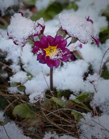A Primula in Winter