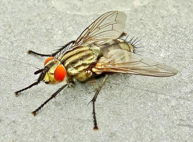Flesh Fly. Sarcophaga carnaria
