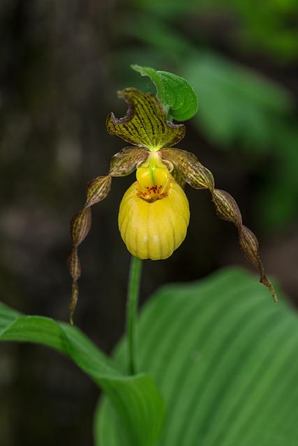 Cypripedium parviflorum variety pubescens (Large Yellow Lady'-slipper orchid)
