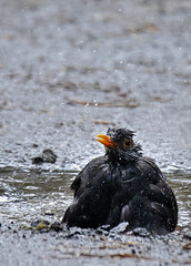 Blackbird Having a Bath
