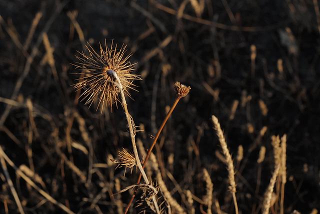 Galactites tomentosus, Thirsty Land Poetry