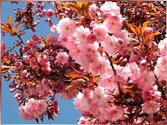 Japanische Blütenkirsche. ©UdoSm