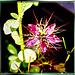 Jungfer im Grünen (Nigella Damascena) ©UdoSm