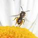 20200614 8554CPw [D~LIP] Wildbiene, Bad Salzuflen