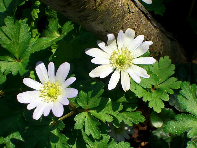 030 Weiße Blütensterne der Anemone