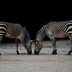Zebras, die sich gegenüberstehen
