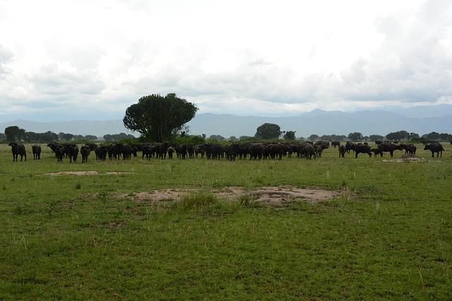 Uganda, Herd of Buffaloes in Queen Elizabeth National Park