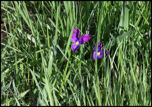 Viola lutea (2)