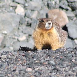 Marmot in Oregon
